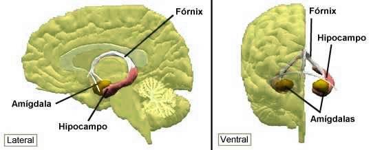 Resultado de imagen de amígdala del cerebro humano